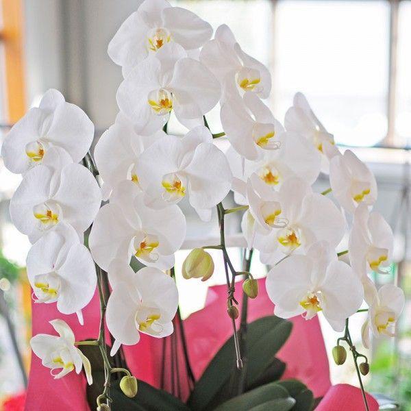 開店祝い胡蝶蘭 3本立 白 洋ラン 鉢植え 花 ギフト 移転祝い 開院祝い|flower|05