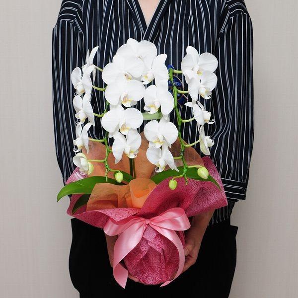 胡蝶蘭ギフト ミニ胡蝶蘭 アマビリス 2本立ち 開店祝い胡蝶蘭 開院祝い 開業祝い 移転祝い胡蝶蘭ギフト|flower|04