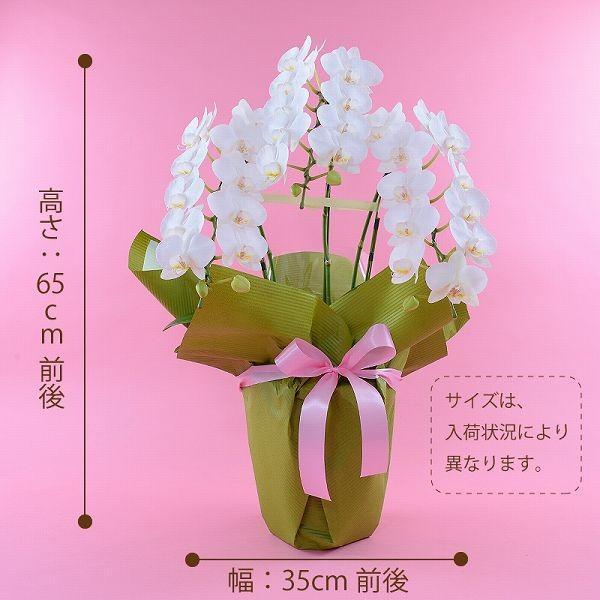 鉢植え ギフト プレゼント 花 洋ラン ミニ 胡蝶蘭 アマビリス 3本立ち 胡蝶蘭|flower|02