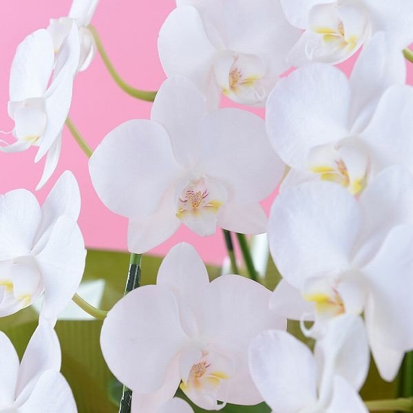 鉢植え ギフト プレゼント 花 洋ラン ミニ 胡蝶蘭 アマビリス 3本立ち 胡蝶蘭|flower|03