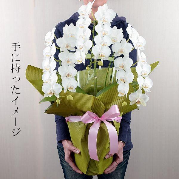 鉢植え ギフト プレゼント 花 洋ラン ミニ 胡蝶蘭 アマビリス 3本立ち 胡蝶蘭|flower|04