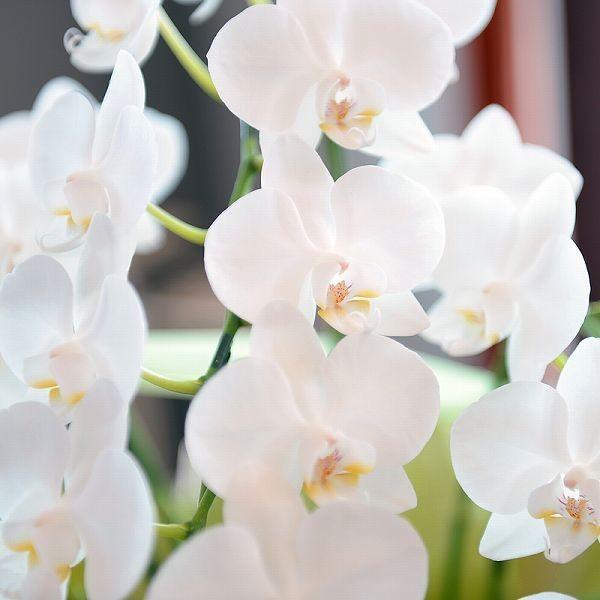 鉢植え ギフト プレゼント 花 洋ラン ミニ 胡蝶蘭 アマビリス 3本立ち 胡蝶蘭|flower|06