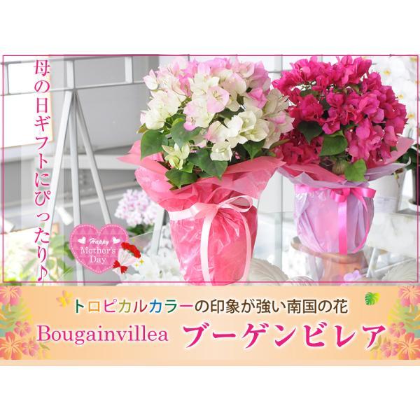 母の日2019 ブーゲンビリア ブーゲンビレア  5号鉢 産地直送 花 贈る プレゼント 鉢植え ギフト 送料無料|flower|02
