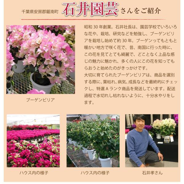 母の日2019 ブーゲンビリア ブーゲンビレア  5号鉢 産地直送 花 贈る プレゼント 鉢植え ギフト 送料無料|flower|03