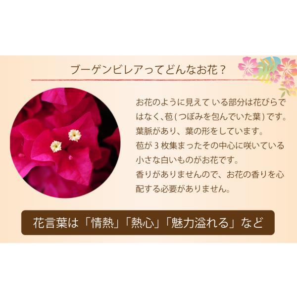 母の日2019 ブーゲンビリア ブーゲンビレア  5号鉢 産地直送 花 贈る プレゼント 鉢植え ギフト 送料無料|flower|04