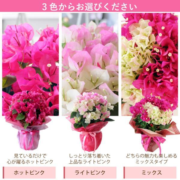 母の日2019 ブーゲンビリア ブーゲンビレア  5号鉢 産地直送 花 贈る プレゼント 鉢植え ギフト 送料無料|flower|05