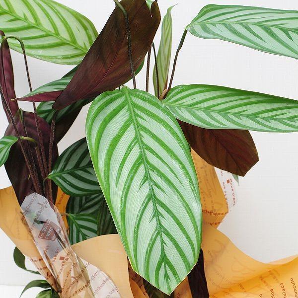 カラテア コンパクトスター 6号鉢 観葉植物 鉢  フラワーギフト|flower|03