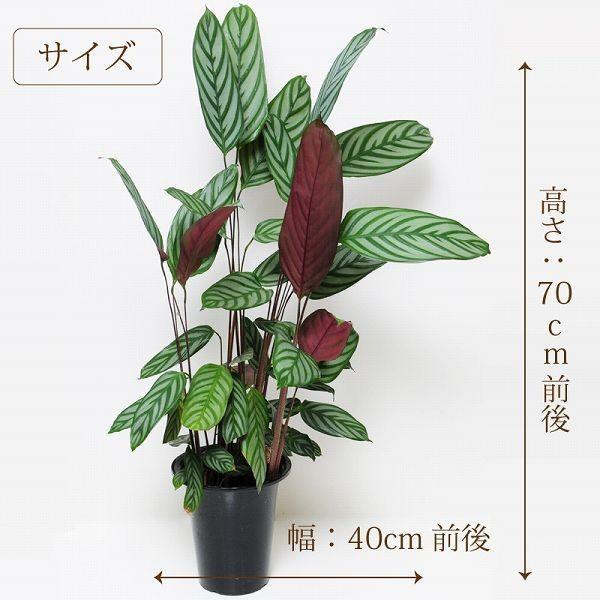 カラテア コンパクトスター 6号鉢 観葉植物 鉢  フラワーギフト|flower|05