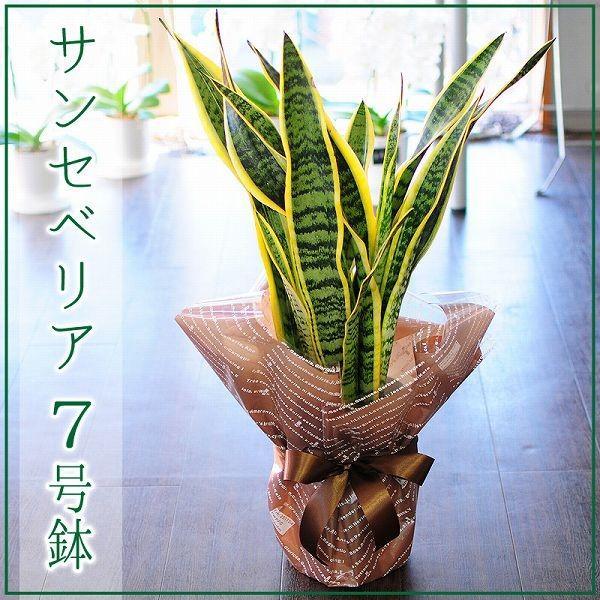 サンセベリア 7号鉢 観葉植物 サンスベリア サンセデリア  鉢  フラワーギフト flower