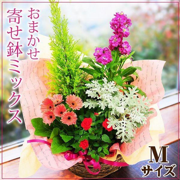 鉢植え 花 ギフト おまかせ寄せ鉢ミックス Mサイズ ギフト 翌日配送|flower