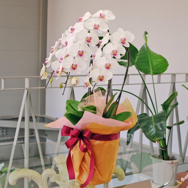 開店祝い 移転祝い 開院祝い 開業祝い 胡蝶蘭 3本立 セミアルバ 赤リップ 3Lサイズ 洋ラン 鉢 花 ギフト|flower