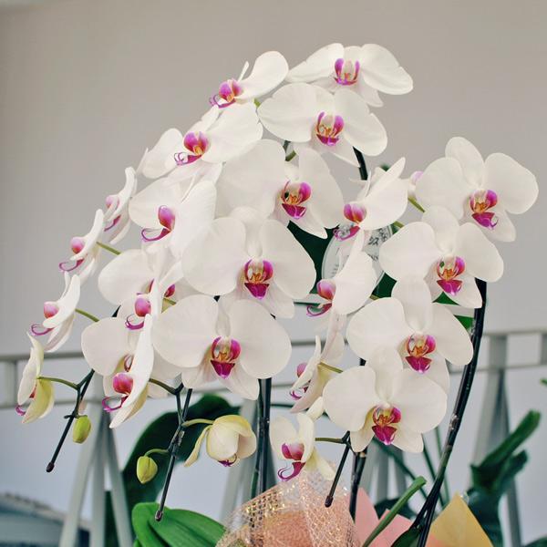 開店祝い 移転祝い 開院祝い 開業祝い 胡蝶蘭 3本立 セミアルバ 赤リップ 3Lサイズ 洋ラン 鉢 花 ギフト|flower|02