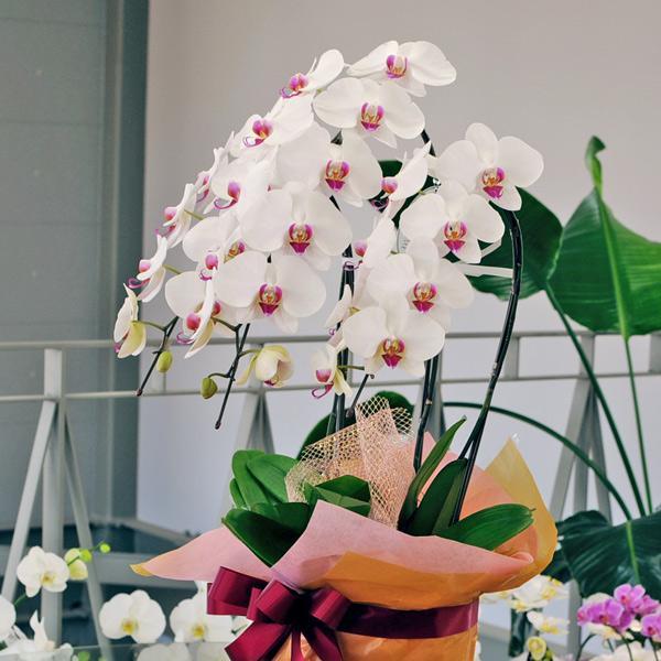 開店祝い 移転祝い 開院祝い 開業祝い 胡蝶蘭 3本立 セミアルバ 赤リップ 3Lサイズ 洋ラン 鉢 花 ギフト|flower|03
