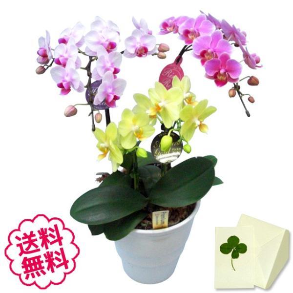 胡蝶蘭 ミディ 3本立 MIX(3色)寄せ/開店祝い 移転祝い 引越祝い 新築祝い 退職祝い 誕生日 還暦祝い 公演見舞い 楽屋見舞い|flowergift-meme