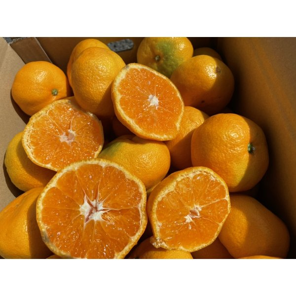 家計救済みんなの150円極早生みかん 訳ありご家庭用1kg150円で20kgまでお好きなだけどうぞ♪ フルーツ 果物 旬 くだもの 食品 温州みかん 柑橘類 ミカン fruit-sunny