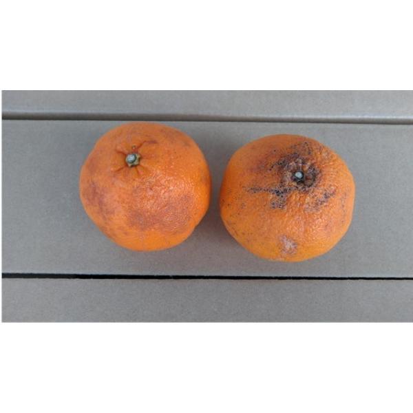 不知火 訳あり デコポンと同品種 熊本産 1箱 箱込10キロ(9kg+保証分500g)|fruitkanmiya-ggy|06