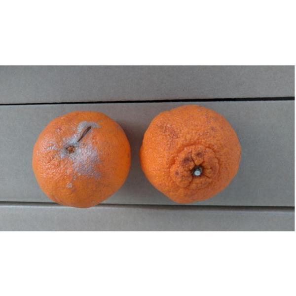不知火 訳あり デコポンと同品種 熊本産 1箱 箱込10キロ(9kg+保証分500g)|fruitkanmiya-ggy|08