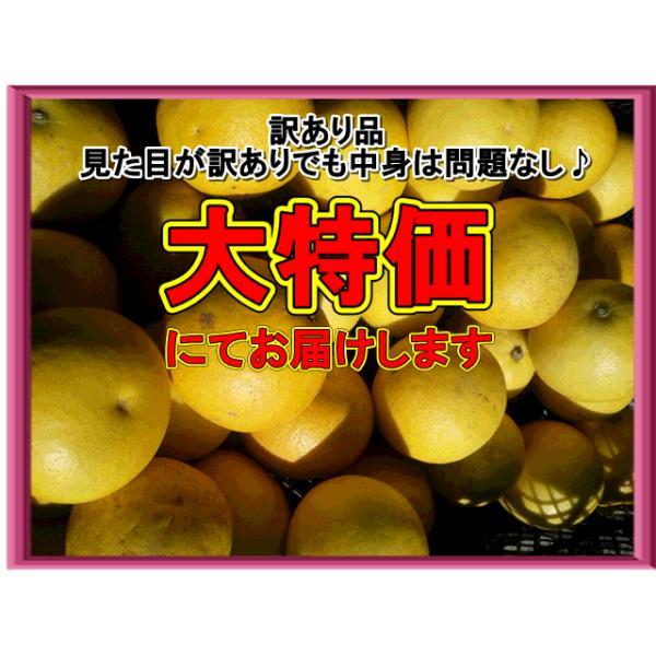 パール柑 訳あり 文旦 土佐文旦の仲間 大橘 ブンタン 熊本産 1箱 箱込9キロ(8kg+保証分500g) |fruitkanmiya-ggy|04