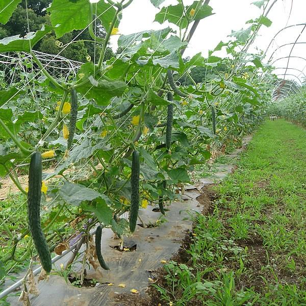 有機と旬で付き合うお試し野菜セット 山梨県産 特産品 名物商品 無農薬 無化学肥料 栽培野菜5品目詰め合わせ 送料無料 一部地域を除く|fruits-line|14