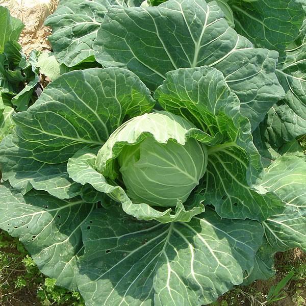 有機と旬で付き合うお試し野菜セット 山梨県産 特産品 名物商品 無農薬 無化学肥料 栽培野菜5品目詰め合わせ 送料無料 一部地域を除く|fruits-line|15