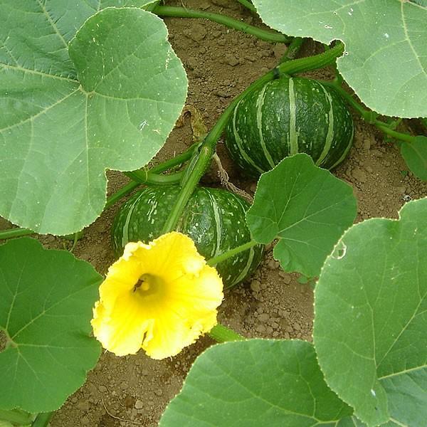 有機と旬で付き合うお試し野菜セット 山梨県産 特産品 名物商品 無農薬 無化学肥料 栽培野菜5品目詰め合わせ 送料無料 一部地域を除く|fruits-line|19
