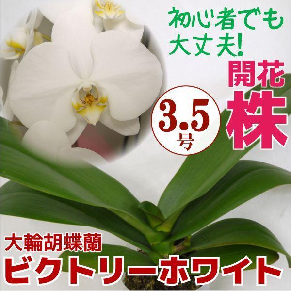 育ててみましょう大輪胡蝶蘭ビクトリーホワイト3.5号開花株 他品種も入れてよりどり3個以上購入で送料無料 fujimino