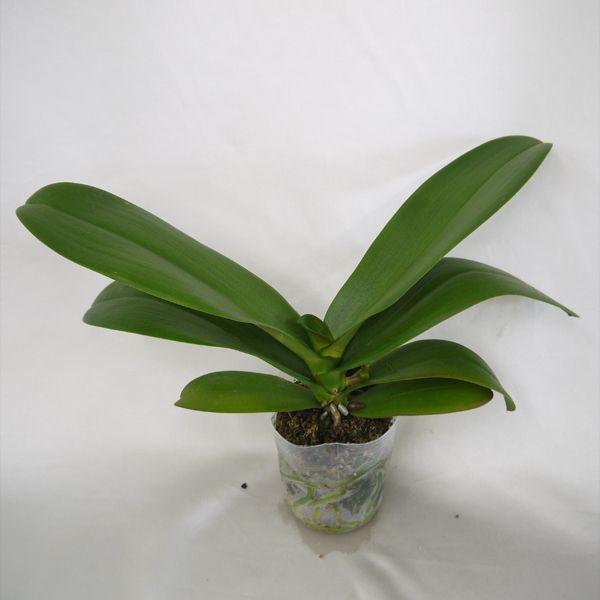 育ててみましょう大輪胡蝶蘭ビクトリーホワイト3.5号開花株 他品種も入れてよりどり3個以上購入で送料無料 fujimino 02