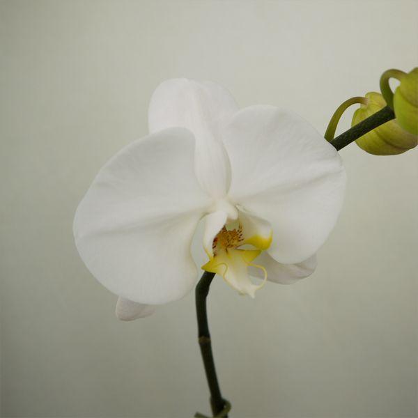 育ててみましょう大輪胡蝶蘭ビクトリーホワイト3.5号開花株 他品種も入れてよりどり3個以上購入で送料無料 fujimino 05