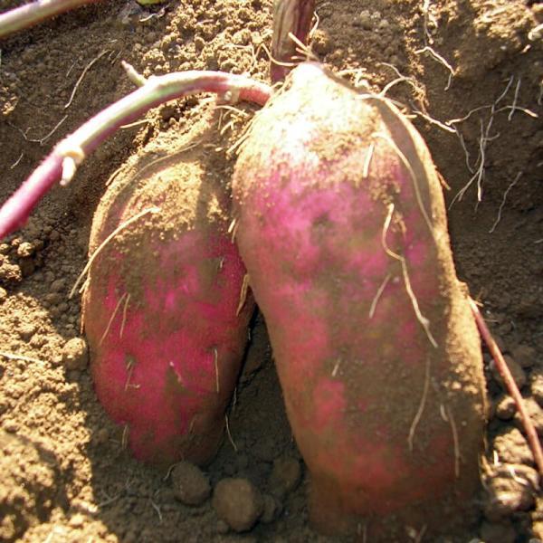 さつまいも 蜜芋 5kg 紅はるか 訳あり ワケあり B品 サツマイモ さつま芋 有機野菜 有機農産物 fukasakunouen 05