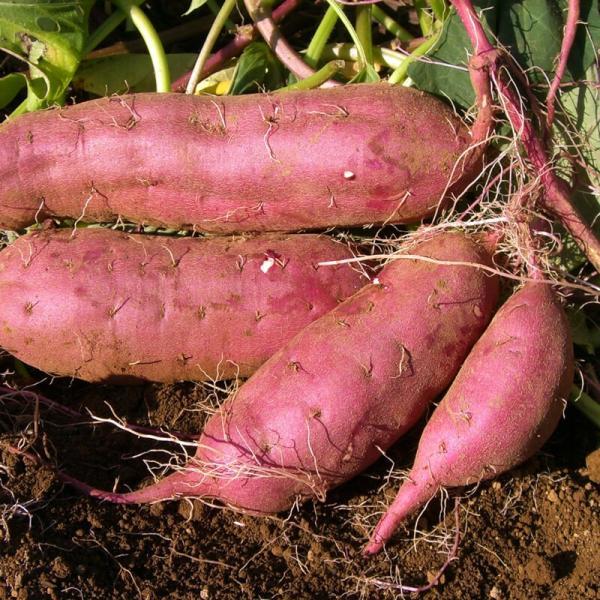 さつまいも 蜜芋 5kg 紅はるか 訳あり ワケあり B品 サツマイモ さつま芋 有機野菜 有機農産物 fukasakunouen 06