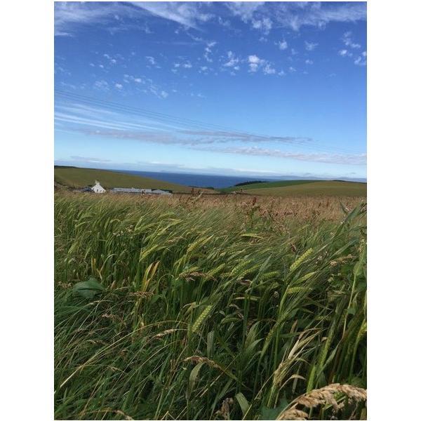 潮麦(スコットランド・サロガ農苑産大麦