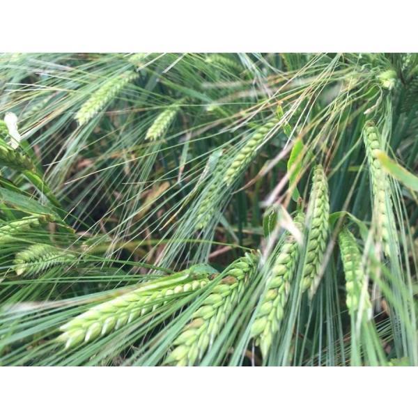 自社農園スコットランド産大麦21kg(3.5kg×6) 潮麦 丸麦 麦ご飯 デトックス お菓子|fukui-koshino|08