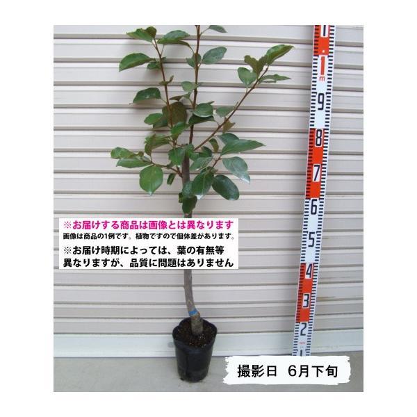 【紅柿】 接木苗 ベニガキ・渋柿 [果樹苗木・柿・かき]