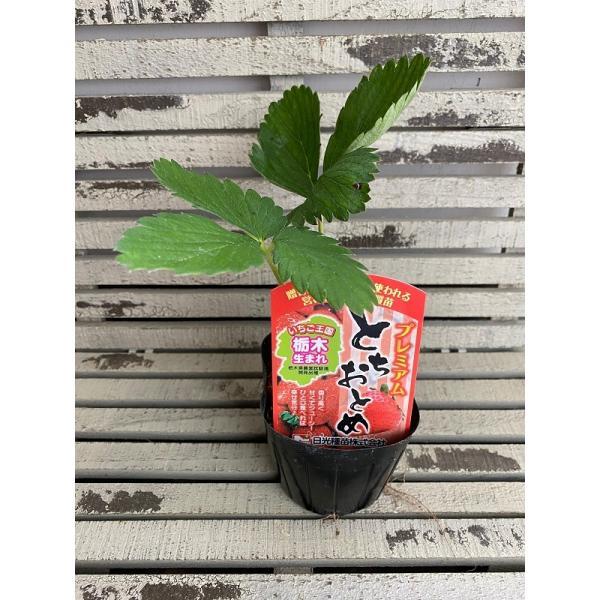 【野菜苗】 いちご プレミアム とちおとめ 9cmポット 1苗