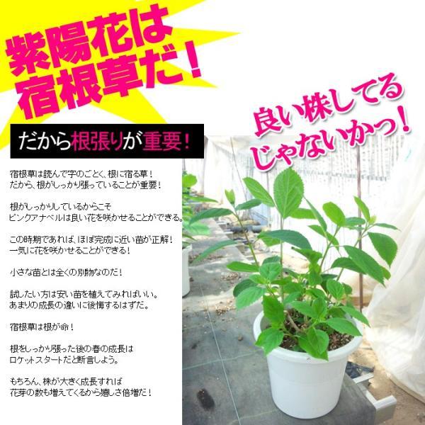 送料無料 アジサイ 紫陽花 鉢花  アメリカアジサイ ピンクアナベル 4.5寸鉢 ※花無しでお届け|gekihana|02