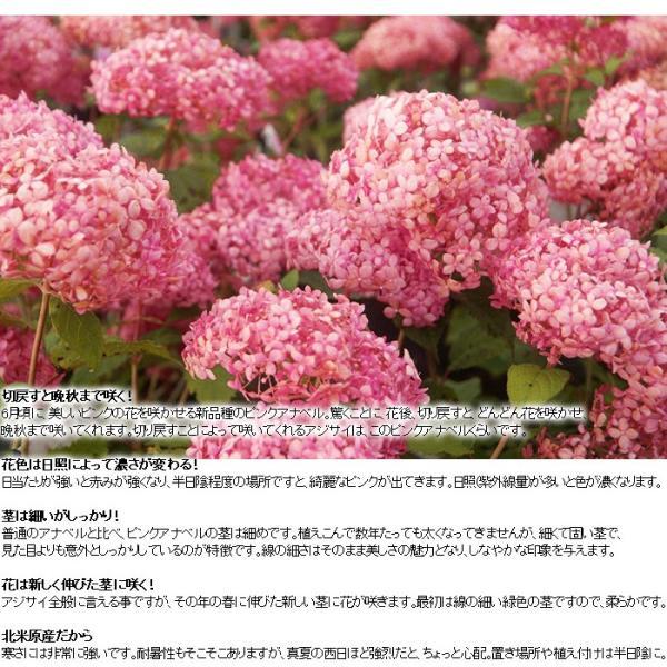 送料無料 アジサイ 紫陽花 鉢花  アメリカアジサイ ピンクアナベル 4.5寸鉢 ※花無しでお届け|gekihana|03