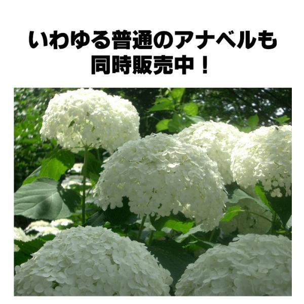 送料無料 アジサイ 紫陽花 鉢花  アメリカアジサイ ピンクアナベル 4.5寸鉢 ※花無しでお届け|gekihana|04