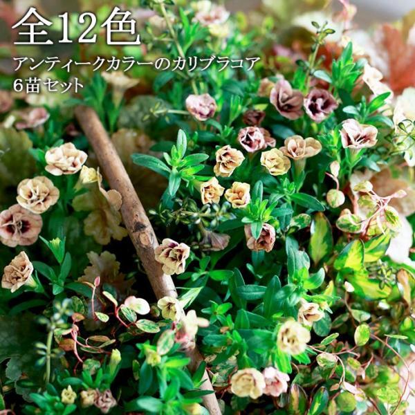 全12色 八重咲きカリブラコア アンティークシリーズ 3.5寸 6苗セット 送料無料