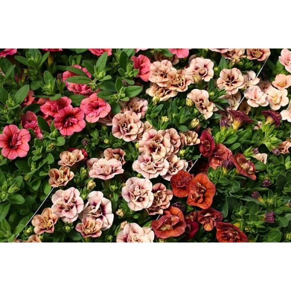 全12色 八重咲きカリブラコア アンティークシリーズ 3.5寸 6苗セット 送料無料 gekihana 03