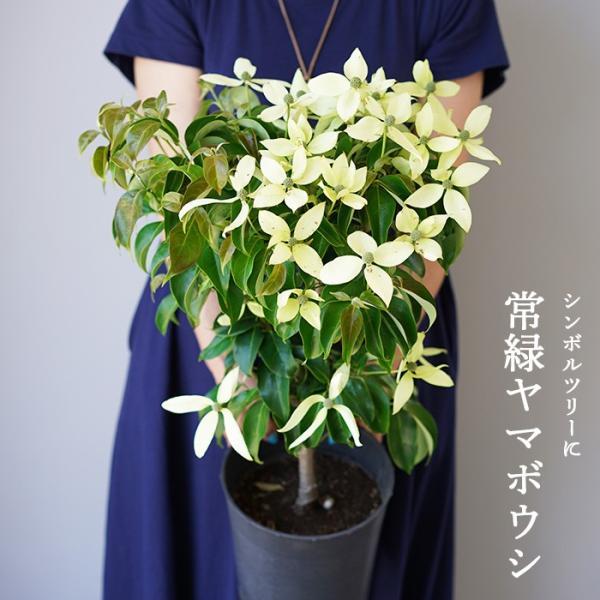【花終わり株】 常緑ヤマボウシ(山法師) 7号 品種:月光 ハナミズキの親戚のお花です。庭植えでシンボルツリーに 鉢植えにもオススメ