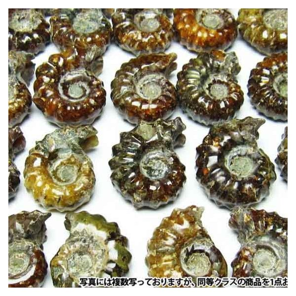 アンモナイト 化石 《rv》 m407-1