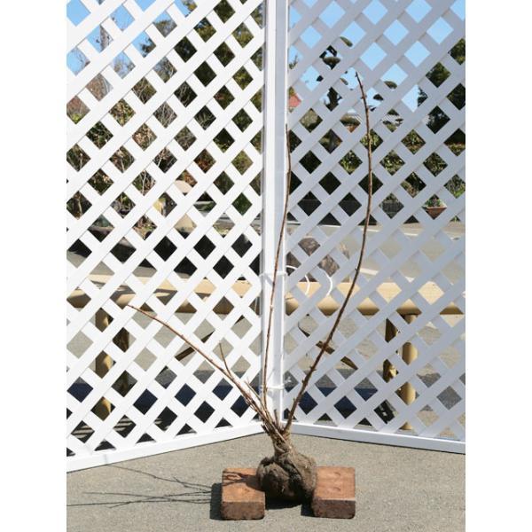 アジサイ/アナベル 0.6m露地 2本セット 送料無料【1年間枯れ保証】【春に花が咲く木】|green-netbox