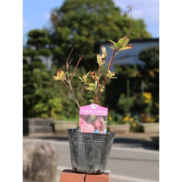 アメリカアジサイ/ピンクのアナベル 12cmポット 1本【1年間枯れ保証】【春に花が咲く木】|green-netbox|02