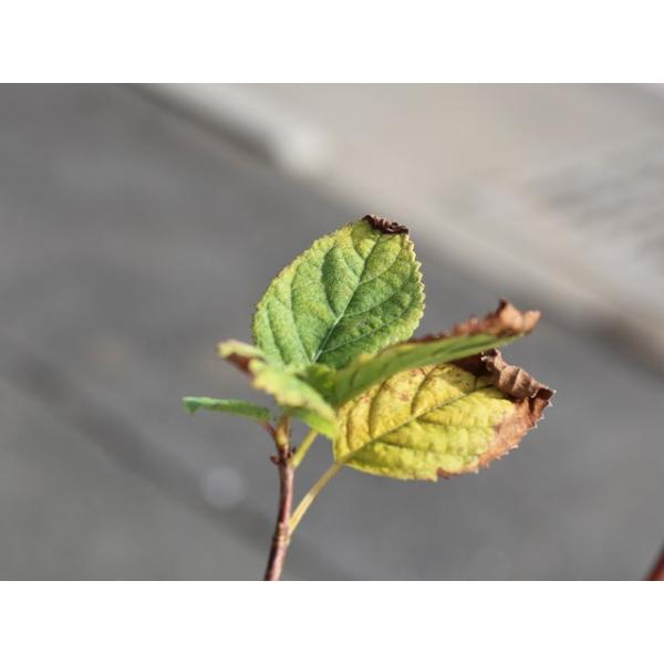 アメリカアジサイ/ピンクのアナベル 12cmポット 1本【1年間枯れ保証】【春に花が咲く木】|green-netbox|03