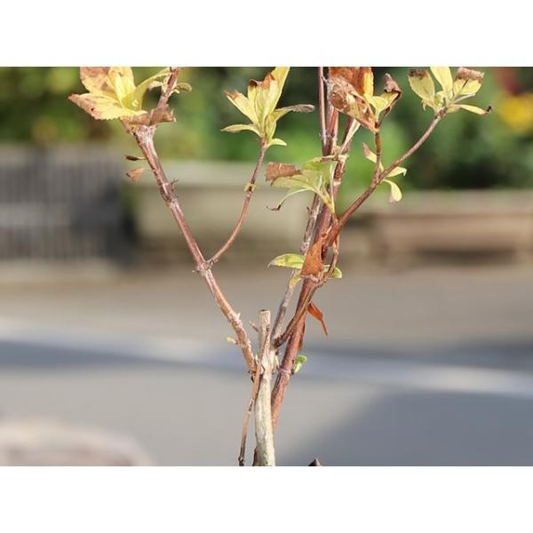 アメリカアジサイ/ピンクのアナベル 12cmポット 1本【1年間枯れ保証】【春に花が咲く木】|green-netbox|04