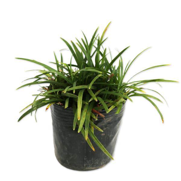 タマリュウ 7.5cmポット 1本 1年間枯れ保証 下草