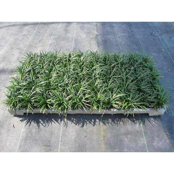 タマリュウ マット60×30cm 1本 1年間枯れ保証 下草