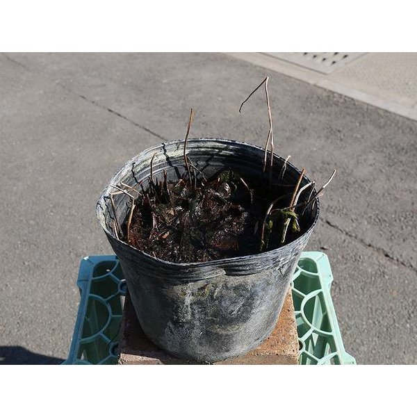 ヒメハス 赤 良花 24cmポット 2本セット 送料無料 1年間枯れ保証 水生植物