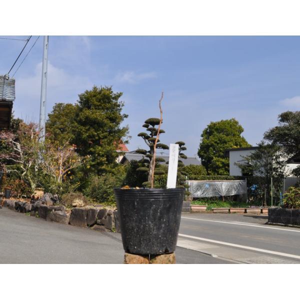 ラズベリー 〜cmポット 4本セット 送料無料 1年間枯れ保証 山野草