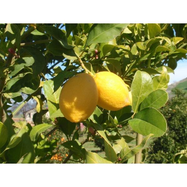 ORIWA_Lot 32 レモンオリーブオイル2019 (250ml) <ニュージーランド産 オーガニックオリーブオイル>|greenpasture-japan|03